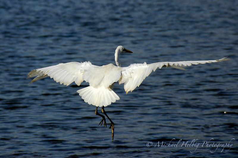Great Egret - Hiroshima