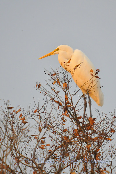 Great Egret - Kyoto