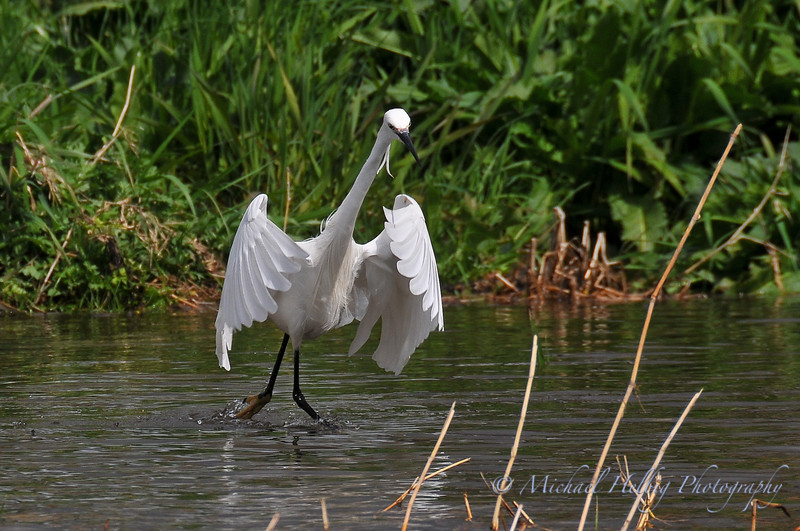 Egret - Kyoto