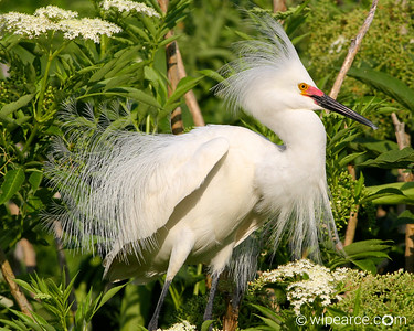 Snowy Egret in full breeding plumage and coloration (red eyes).