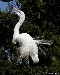 Great Egret with a nice Cedar backdrop.