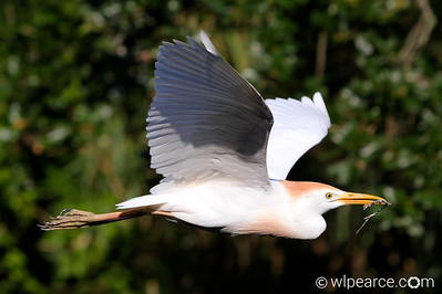 Cattle Egret working on the nest.
