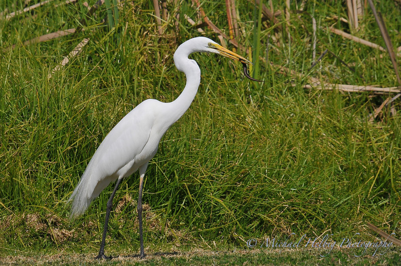 Great Egret eating lizard - Perth