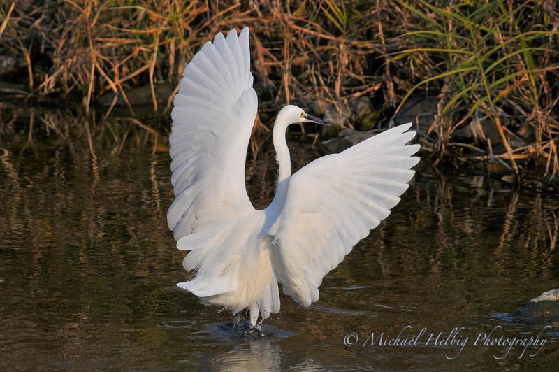 White Egret - Kyoto