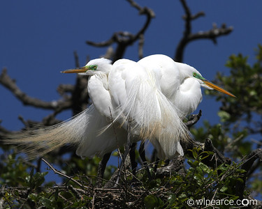 Great Egret pair nesting.