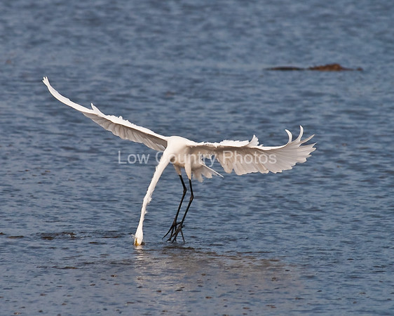 (23) Egret stands on water with his head under water
