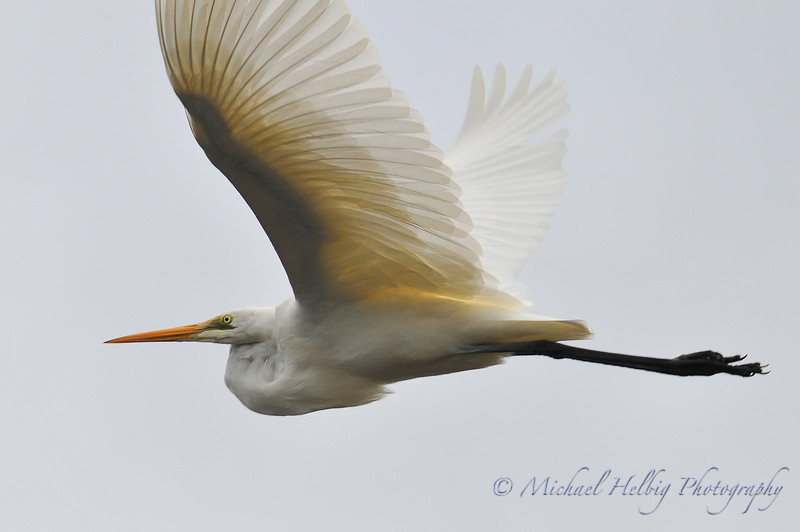 Great Egret in flight - Denmark, Australia.