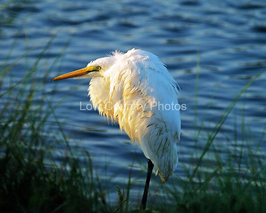 Fluffy the Egret
