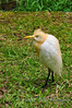 Cattle Egret - Malaysia