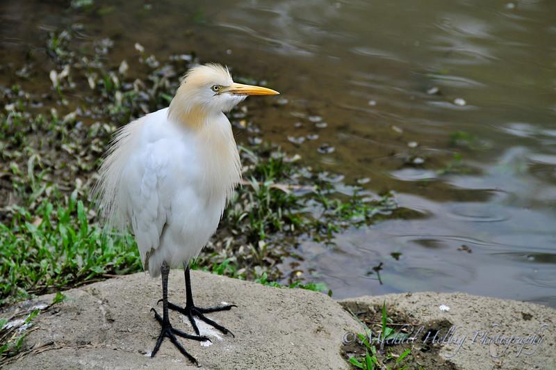 Cattle Egret - Malaysia