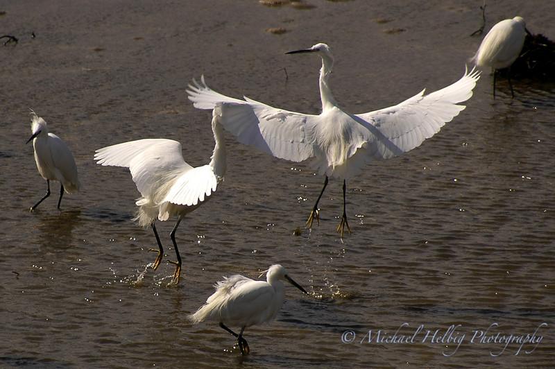 White Egret - Hiroshima