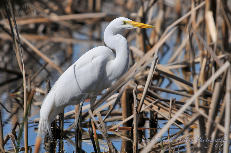 Great Egret - Perth