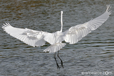 """Flaps 100%"".  Great Egret, Pottsburg Creek"