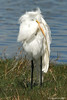 Great Egret.  Merritt Island NWR. Get notifications via: