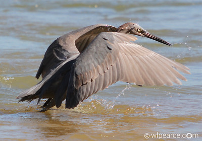 "Juvenile Reddish Egret fishing in Matanzas Inlet.  This is the ""flail about and confuse 'em"" technique so common to the species."