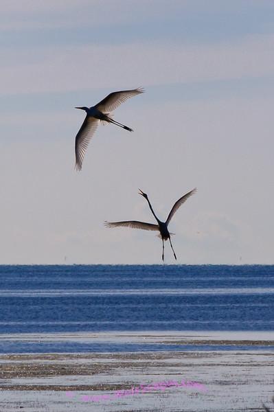 Egrets in flight, Lake Erie Metro Park