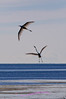 Egrets in flight, Lake Erie Metro Park