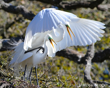Great Egrets makin' babies....
