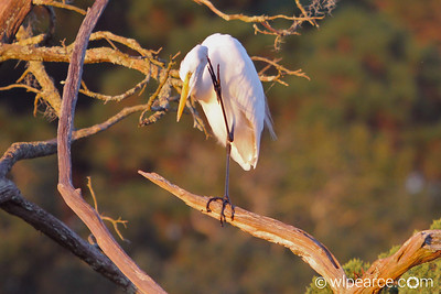 Ooooh yeah.... that's the spot!  Great Egret, Pottsburg Creek, FL  at dusk.