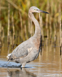 Reddish Egret with interesting pattern reflection in the morning light.  Little Talbot Island State Park