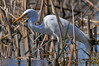 Great Egret eating dragonfly - Perth