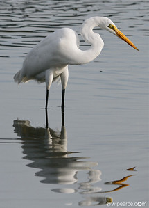 Looks like a Pablo Picasso reflection.  Great Egret.  St. Augustine marsh.