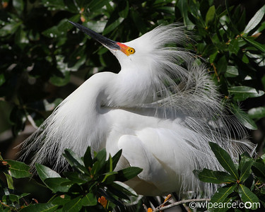 Snowy Egret protecting the nest.  What's missing in the photo is the goofy sound they make.  Truly funny if you can find a recording of it.