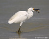 Yummy!  Snowy Egret on Daytona Beach Get notifications via: