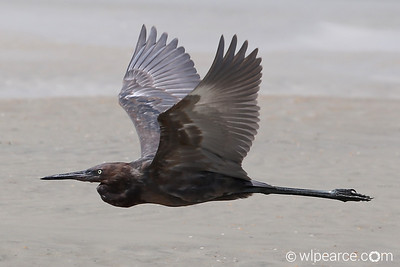 Reddish Egret in flight.  Matanzas Inlet, Florida.  Day after Hurricane Hermine.