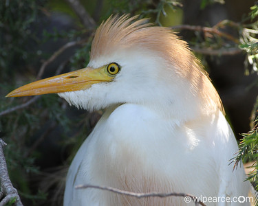 Cattle Egret around breeding time.