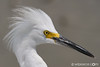 Snowy Egret Passport Photo. Get notifications via: