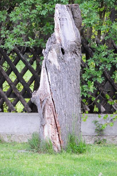 Der alte Marillenbaum