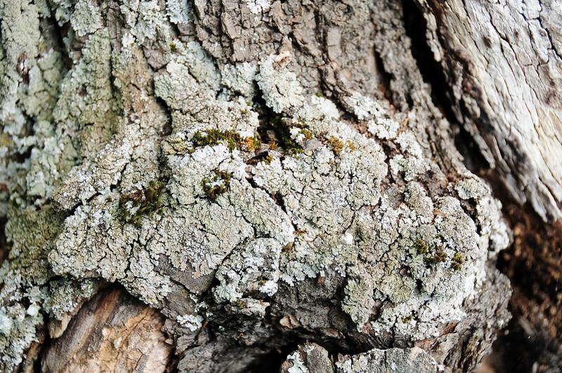 Alter Marillenbaum