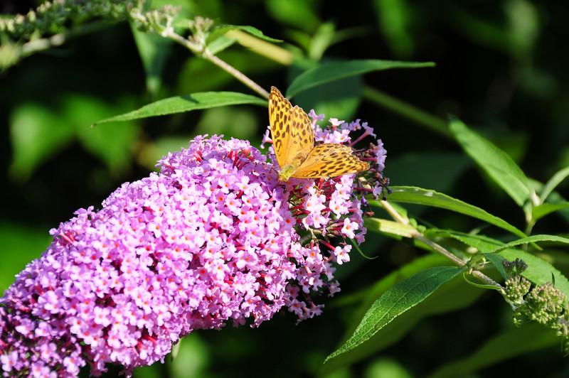 Schmetterlinge beim Naschen