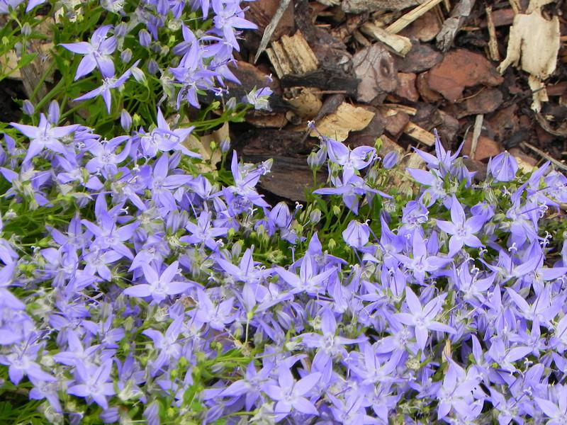 Blaublütler