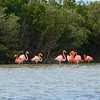 Flamingos on edge of mangroves