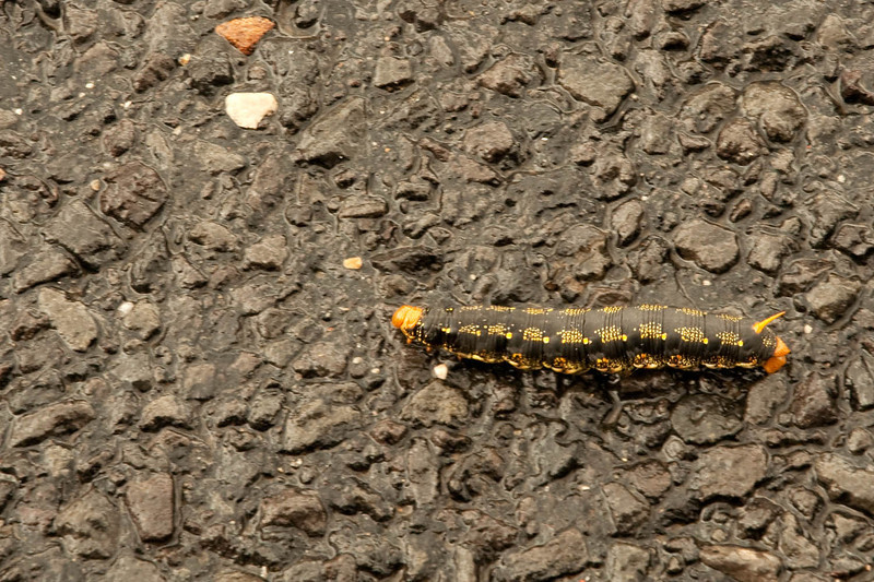 This caterpillar has colors to blend in with it's surroundings, but crossing a road, it definitely stood out. <br /> It's heading to the left by the way.