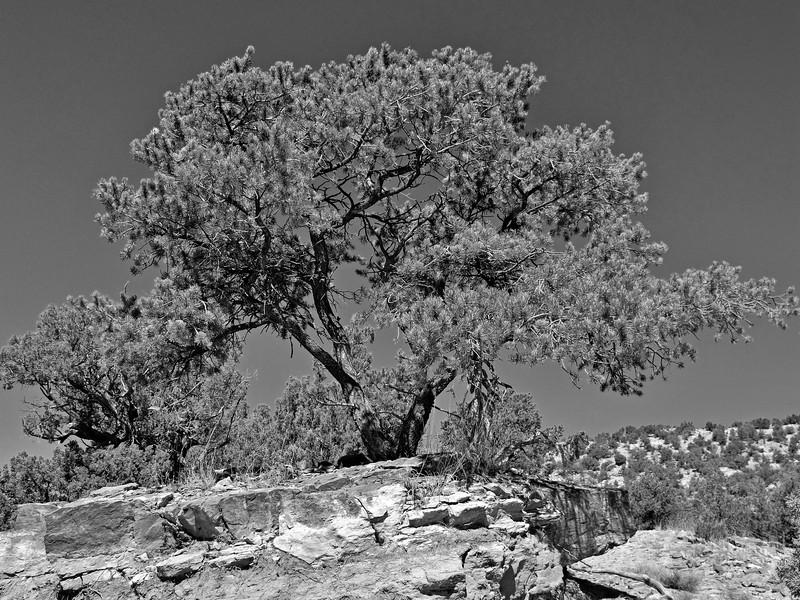 Piñon Pine