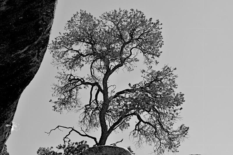 Mountain Piñon Pine