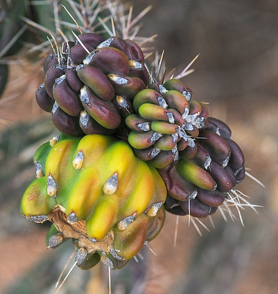 Cholla Fruit