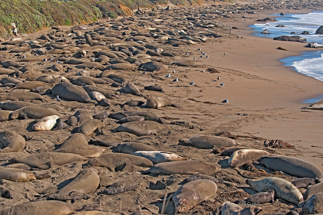 <strong>2. Part of the elephant seal rookery at Piedras Blancas, California.</strong>   Each year between December and February thousands of pregnant female and mature male elephant seals arrive at the rookery.  The males set up harem sites, which they defend against other males.  The females take up residence  within the harems, where they give birth, nurse their young, mate, and then, after 5 weeks with no food, return to sea.  The main activity for all these elephant seals is sleeping.