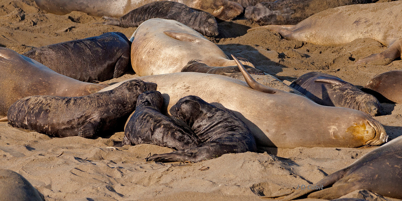 <strong>21. Mother makes an exception.</strong>  A female elephant seal nurses three pups.  Female elephant seals do not feed while nursing and only have enough reserves to completely nurse one pup.  Consequently, some, or all, of these pups will probably die before reaching a healthy weaner stage.