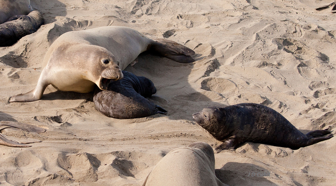<strong>20. A nursing mother threatens an approaching pup.</strong>  Female elephant seals only have enough milk for their own pup, and most--but not all--nursing females drive off other pups that get too close.