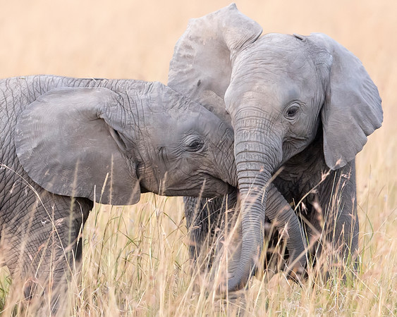 This photograph of two juvenile elephants was captured in the Maasai Mara National Reserve, Kenya, Africa (2/15). This photograph is protected by International and U.S. Copyright Laws and shall not to be downloaded or reproduced by any means without the formal written permission of Ken Conger Photography.
