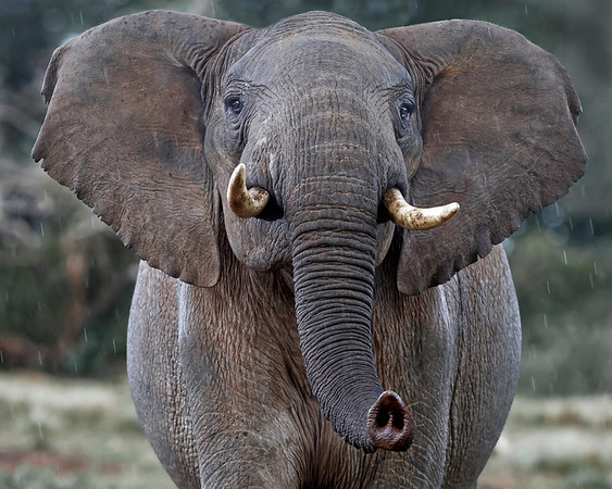 This photograph of a Forest Elephant was captured in Kenya, Africa (3/11).     This photograph is protected by the U.S. Copyright Laws and shall not to be downloaded or reproduced by any means without the formal written permission of Ken Conger Photography.