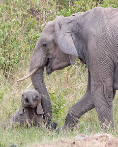 This photograph of a mother and juvenile elephant was captured in the Maasai Mara National Reserve, Kenya, Africa (2/15). This photograph is protected by International and U.S. Copyright Laws and shall not to be downloaded or reproduced by any means without the formal written permission of Ken Conger Photography.