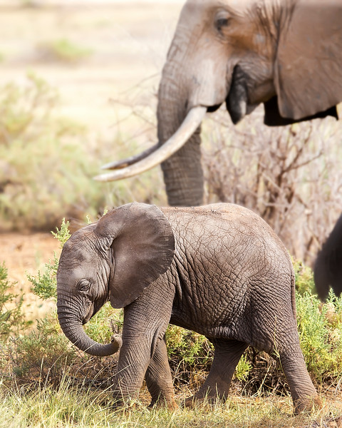 This photograph of a mother and juvenile elephant was captured in the Samburu  National Reserve, Kenya, Africa (2/15). This photograph is protected by International and U.S. Copyright Laws and shall not to be downloaded or reproduced by any means without the formal written permission of Ken Conger Photography.