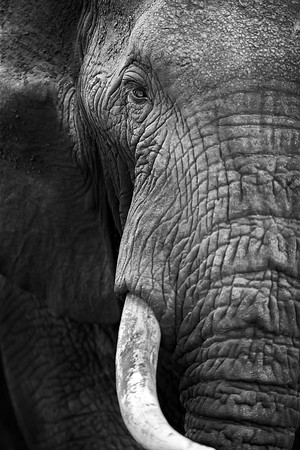 Black & White Elephant Photograph