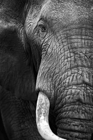 Black & White Elephant Photograph