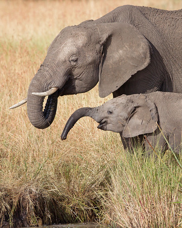 This photograph of a mother Elephant and calf was captured in Kenya, Africa (2/12).   This photograph is protected by the U.S. Copyright Laws and shall not to be downloaded or reproduced by any means without the formal written permission of Ken Conger Photography.